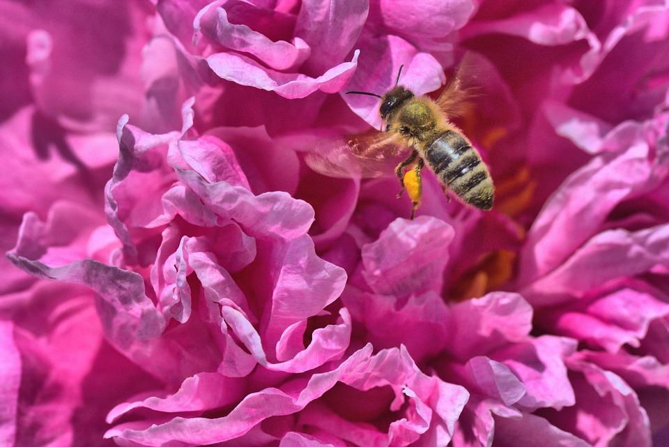Peony, Bee, Pink, Paeonia, Blossom, Bloom, Pollen