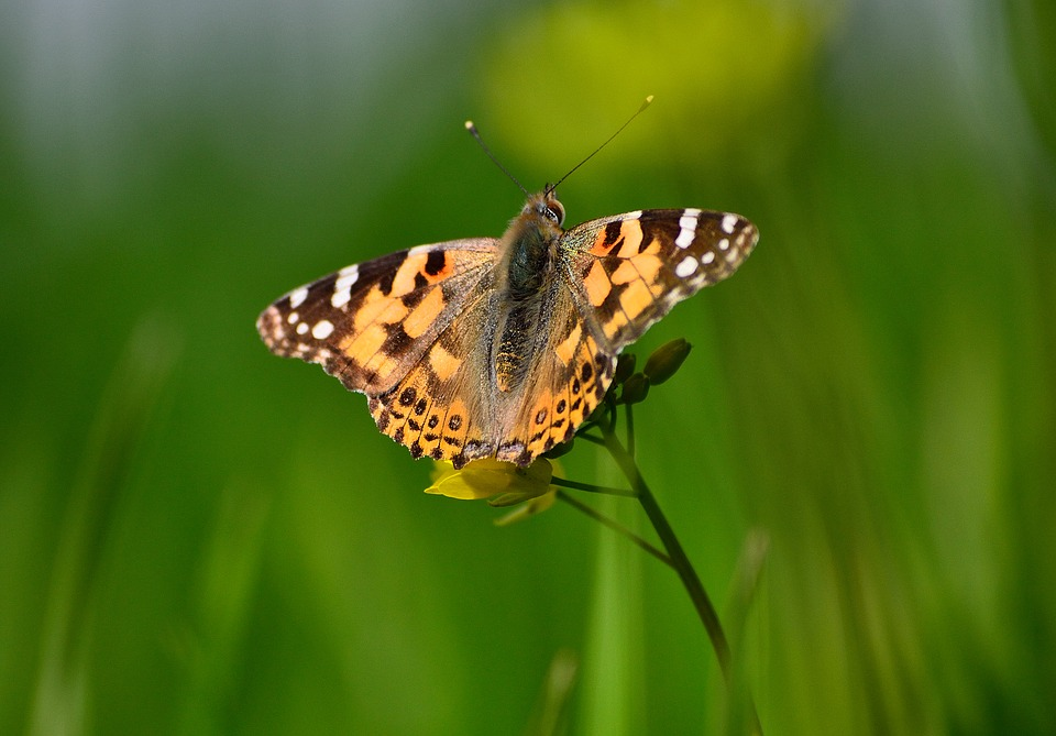 Painted Lady Butterfly, Butterfly On Mustard Plant