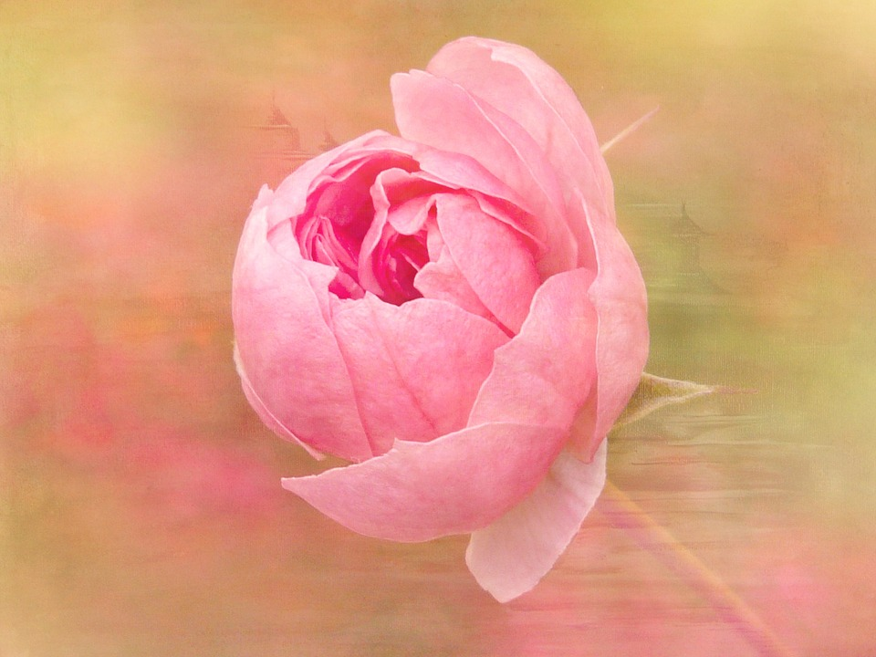 Rose, Flower, Blossom, Bloom, Pink, Painting