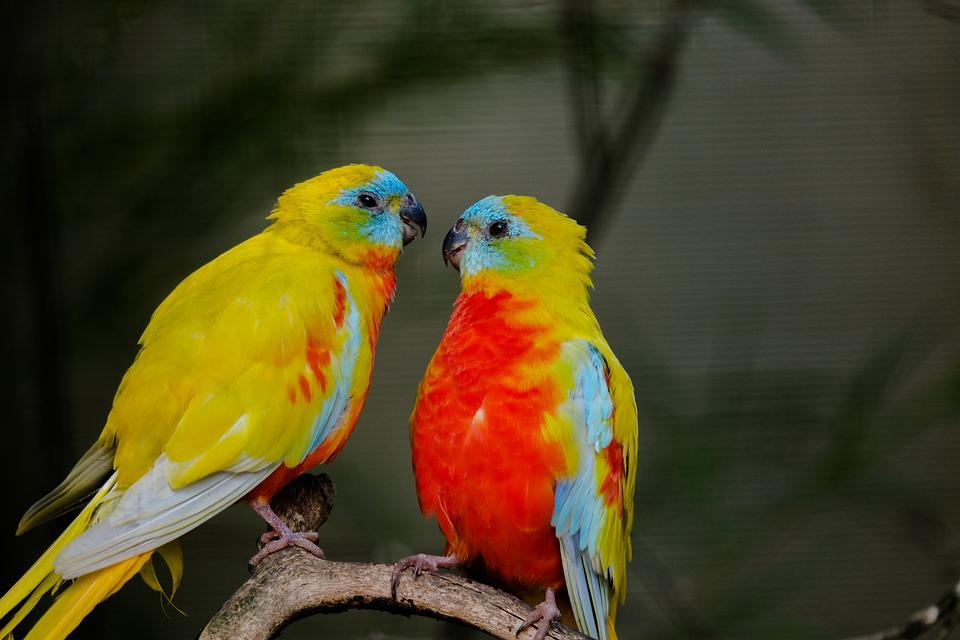 Beautiful Parakeet, Bird, Love, Pair, Romantic, Lovers