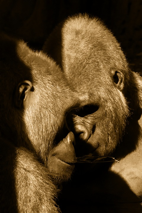 Apes, Bronx Zoo, New York City, Couple, Pair, Love