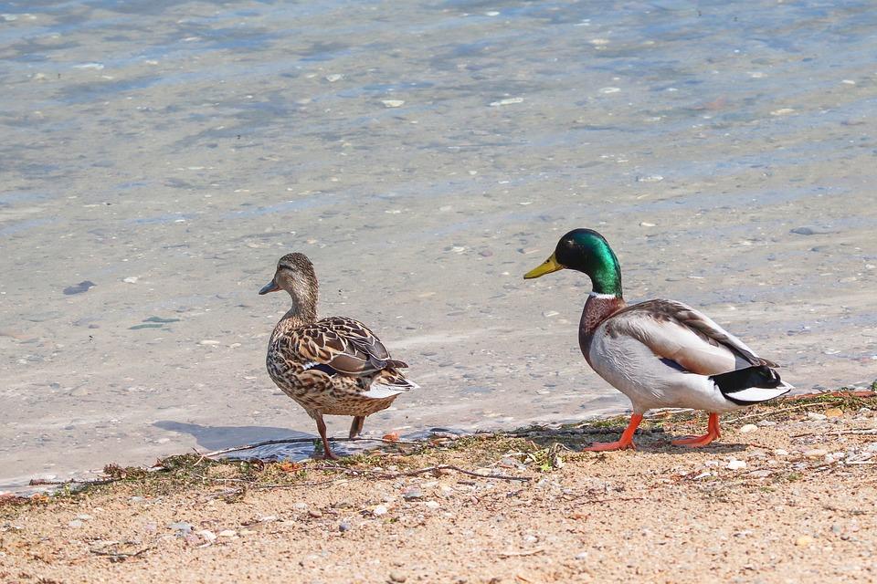 Ducks, Anas Platyrhynchos, Drake, Female, Pair, Couple