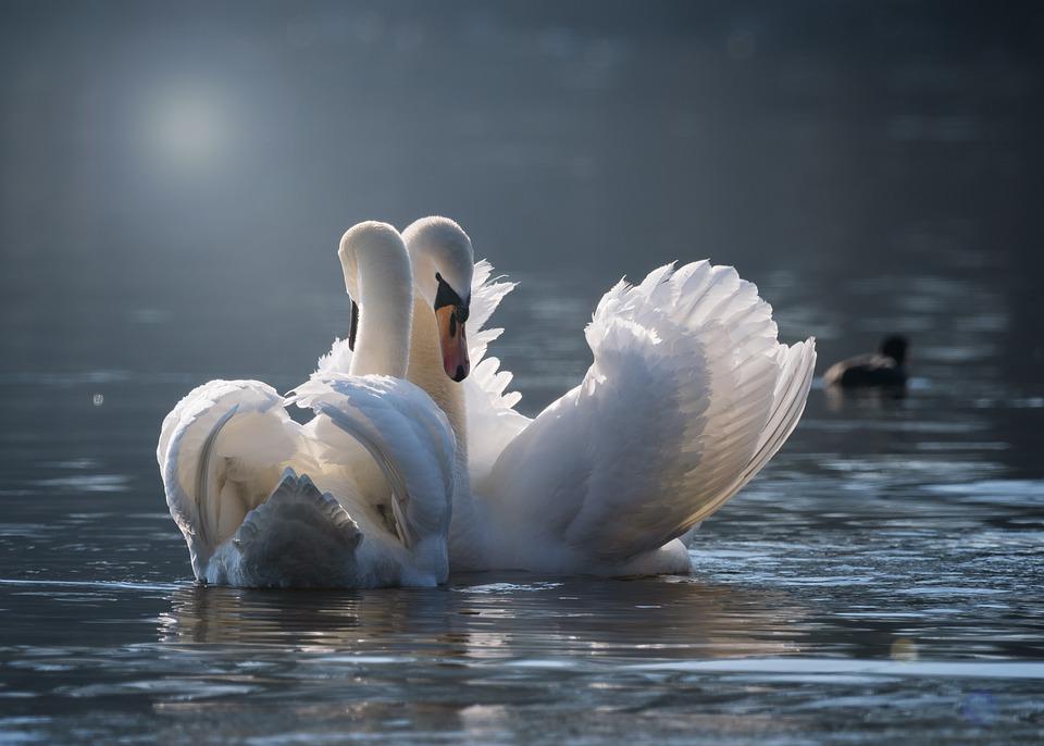 Swan, Pair, Love, Pairing, Emotions, Water, Bird, Lake