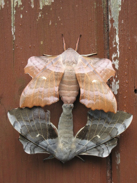 Moths, Pairing, Combines, Connected, Pair, Butterfly