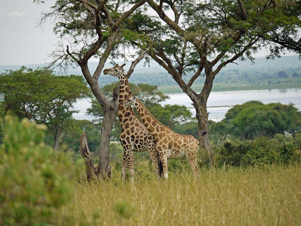 Rothschild-giraffes, Uganda, Pair, Wild Animal