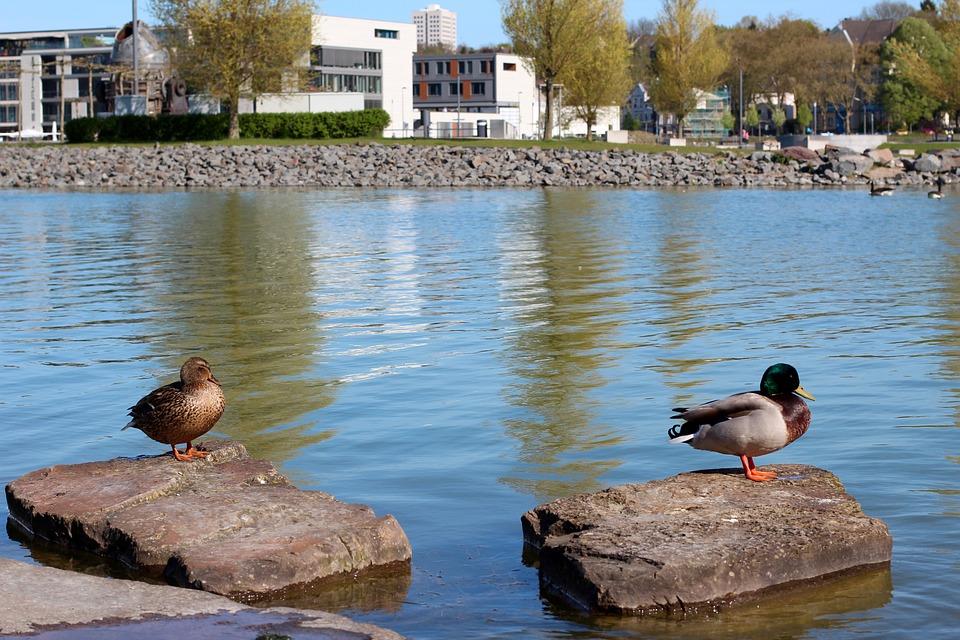 Duck, Pair, Mallards, Water, Plumage, Two, Water Bird