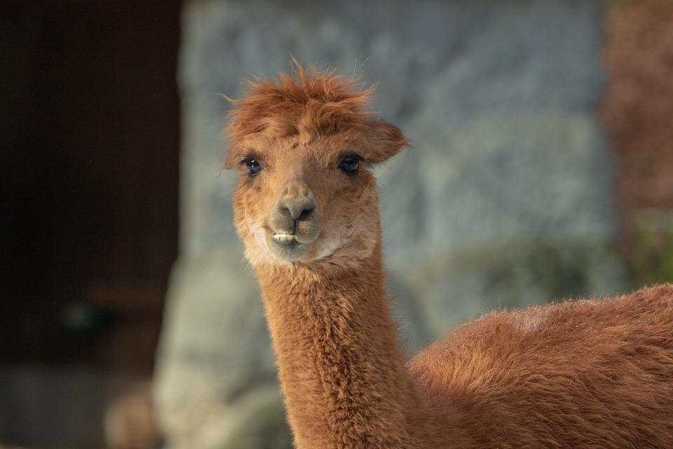 Alpaca, Camel, Animal, Livestock, Mammal, Pako, Head