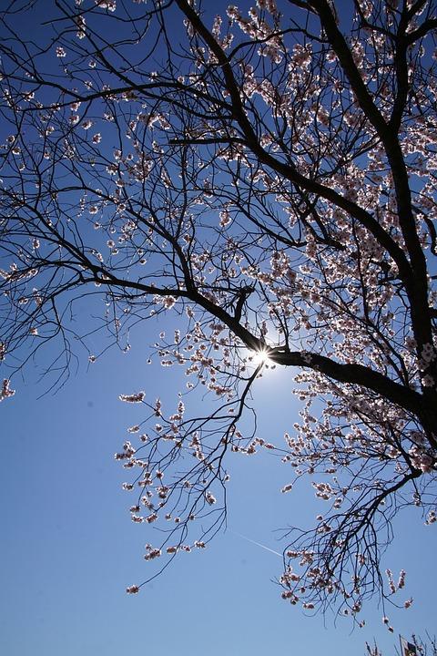 Almond Blossom, Blossom, Palatinate, Gimmeldingen