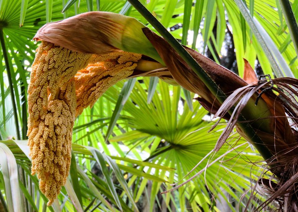 Palm, Palm Blossom, Blossom, Bloom, Fruit, Exotic