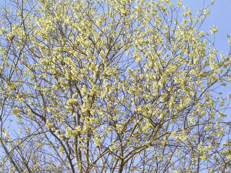 Pussy Willow, Spring, Bloom, Palm Branches, Sun