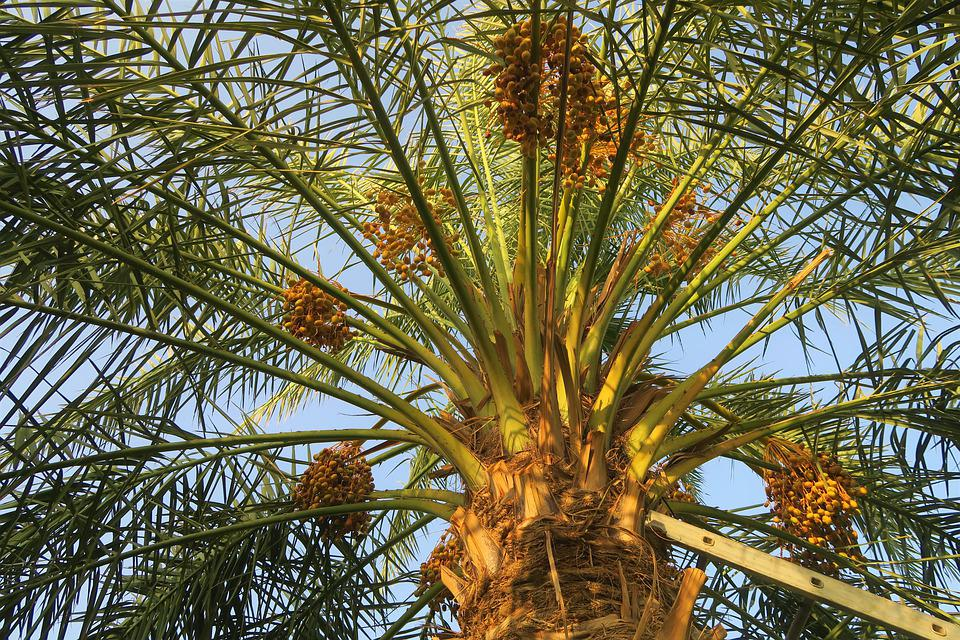 Palm, Tree, Fruit, Beautiful, Nature, Healthy, Food