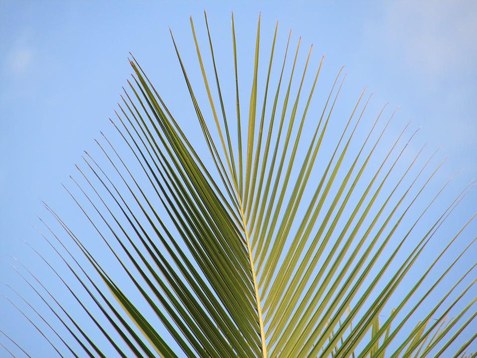 Palm, Palm Leaf, Coconut Tree, Branch, Dharwad, India