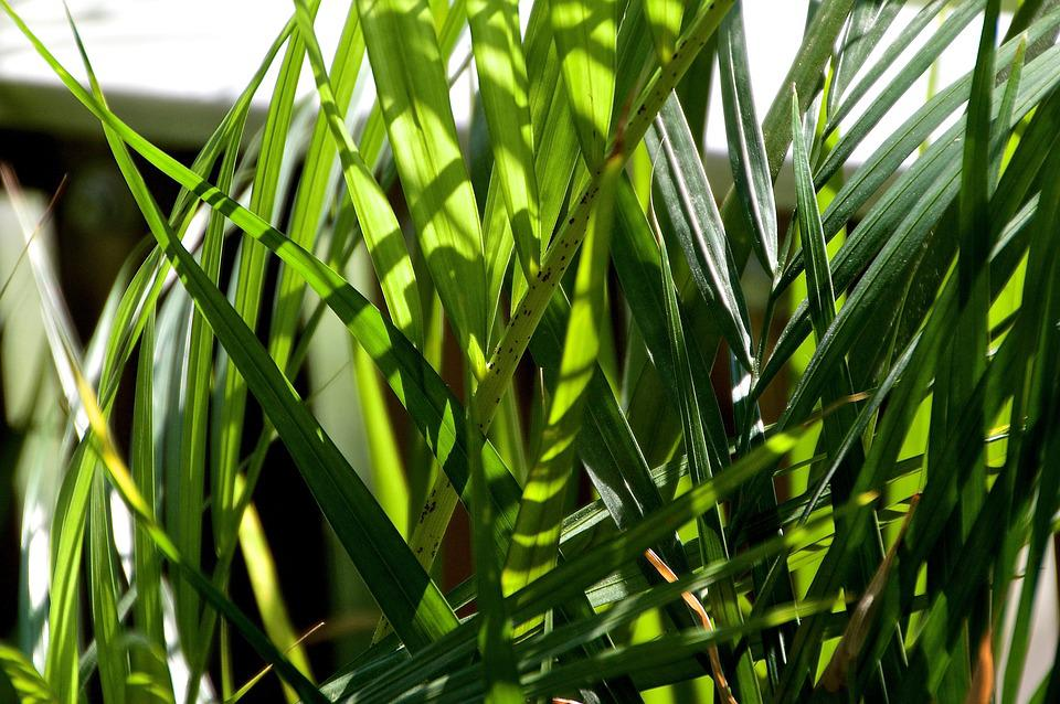 Palm, Palm Leaf, Balcony Plant, Plant, Leaf, Structure