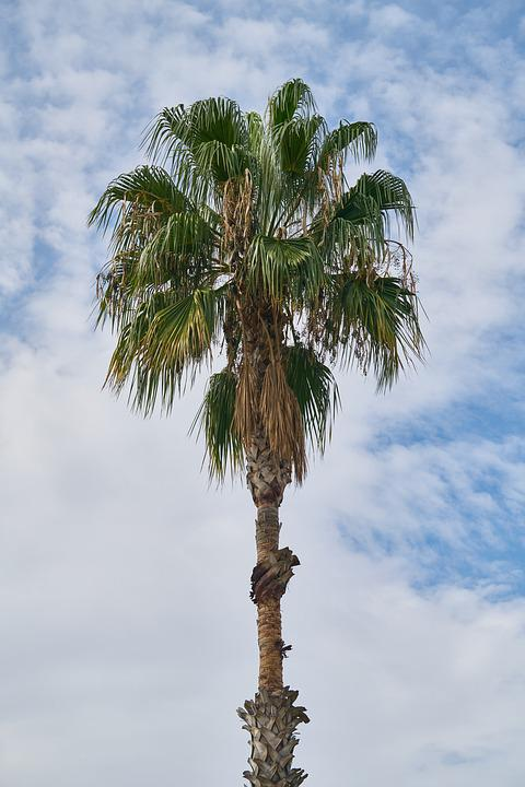 Palm, Tree, Blue, Green, Sky, Nature, Tropical, Summer