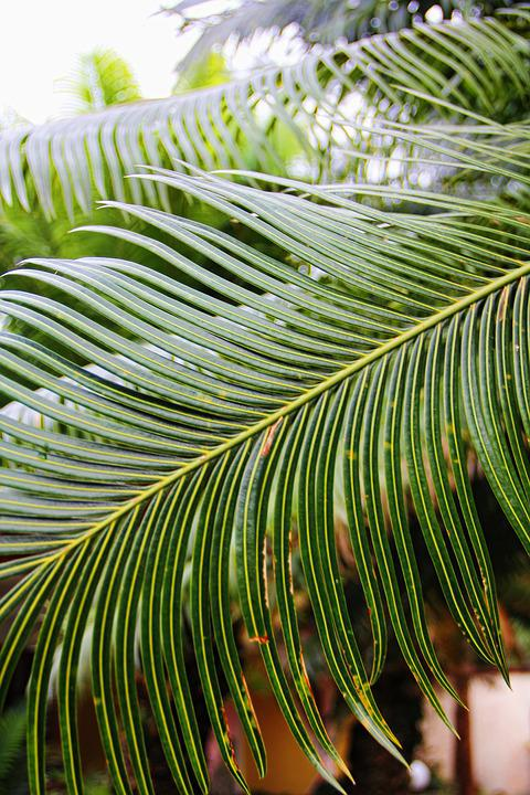 Palm, Palm Fronds, South Sea, Caribbean, Green, Plant