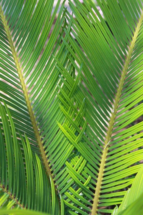 Sago, Palm, Nature, Plant, Fern