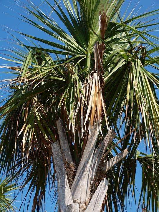 Palm, Palm Tree, Tropical, Tree, Frond