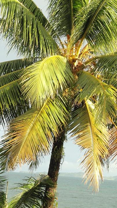 Coconut Tree, Tropical Tree, Palm Tree, Tree, Organic