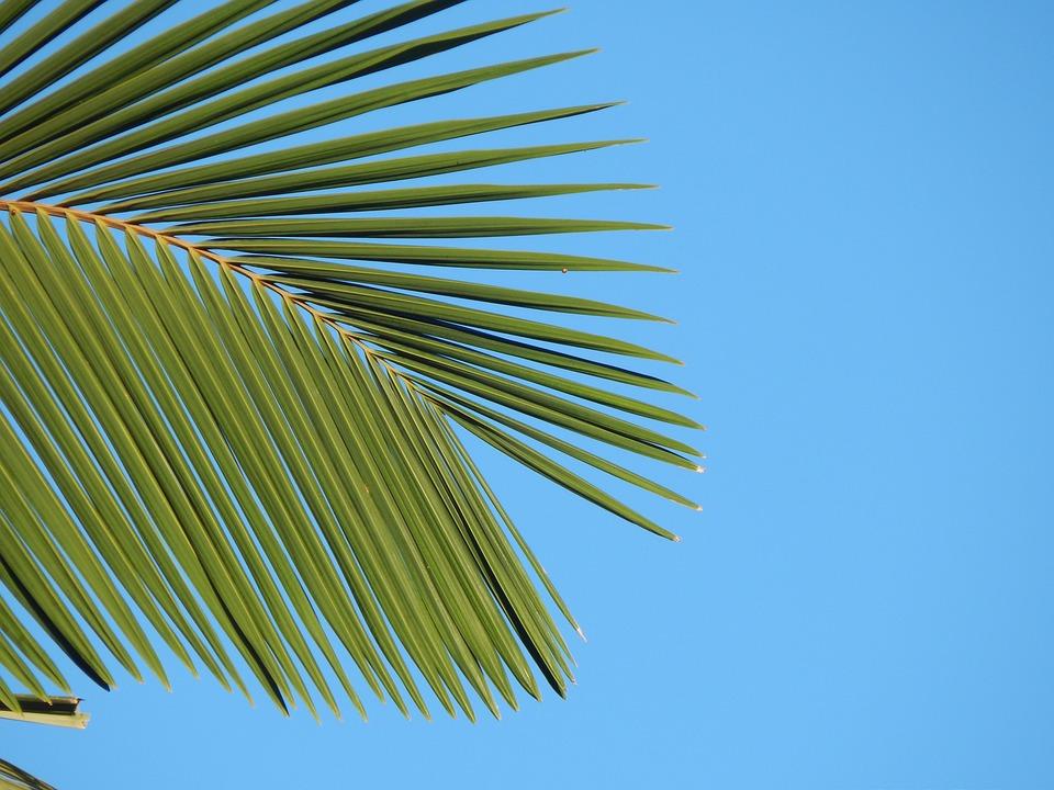 Leaf, Palma, Palm Tree, Tropical, Plant, Green