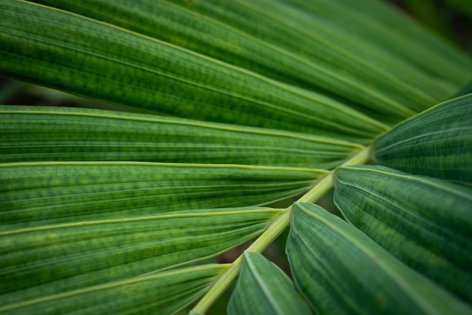 Palma, Leaves, Plant, Sheet, Tropics, Green, Tropical