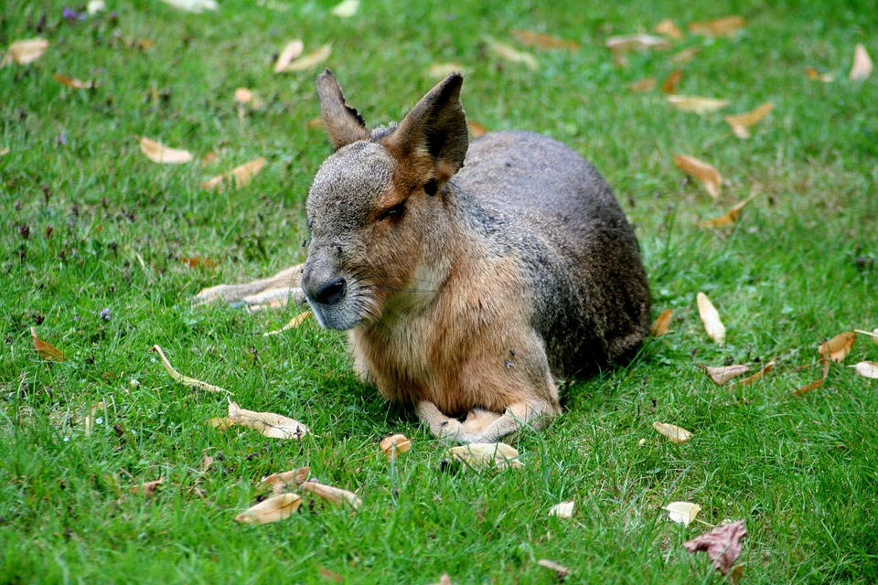 Pampashase, Patagonian Mara, Rodents, Rabbit