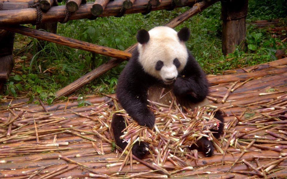 Panda, Animal, Zoo