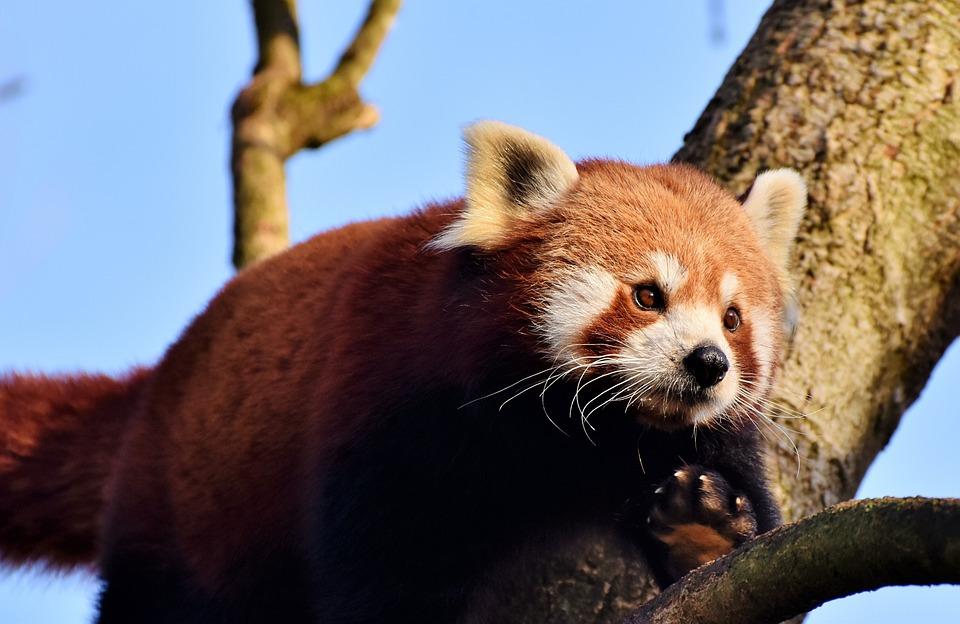 Panda, Brown Panda, Red Panda, Panda Bear, Mammal
