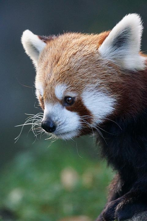 Panda, Red Panda, Cute, Animal World, Close Up