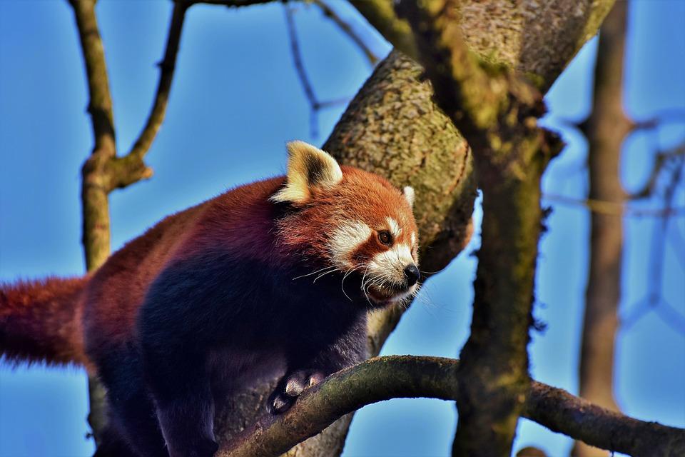 Panda, Panda Bear, Brown Panda, Bear, Mammal, Cute