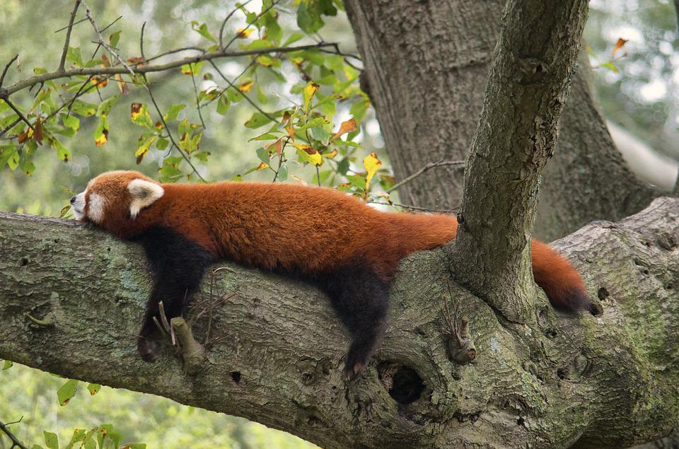 Red Panda, Zoo, Red, Panda, Animal, Wild, Cute, Mammal