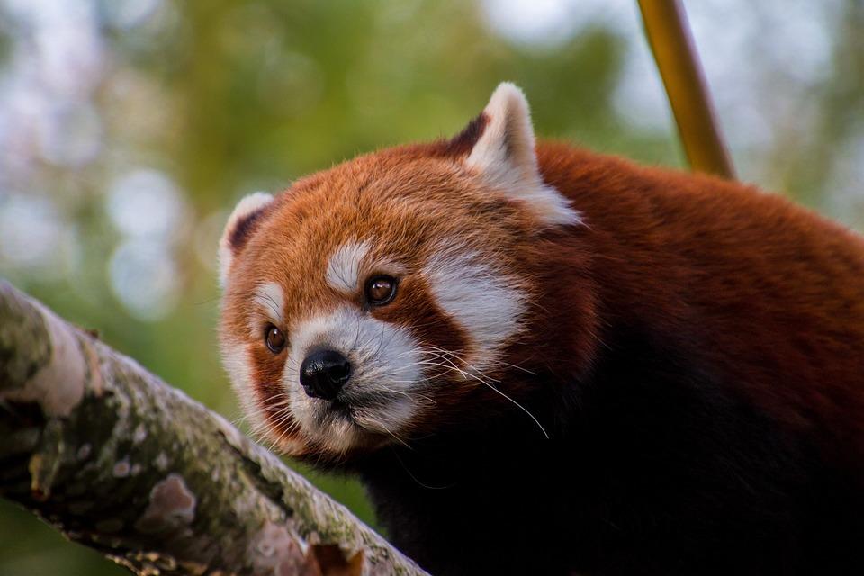 Red Panda, Panda, Sweet, Bamboo, Mammal, Endangered