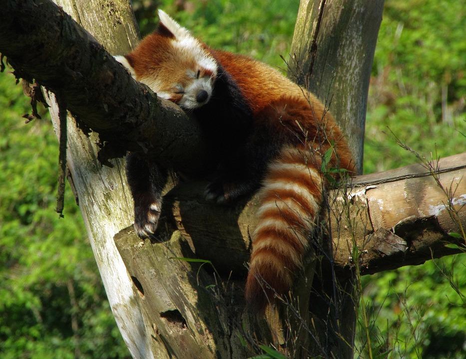 Panda, Roux, Zoo Lille, Panda Radiant, Ailuridae