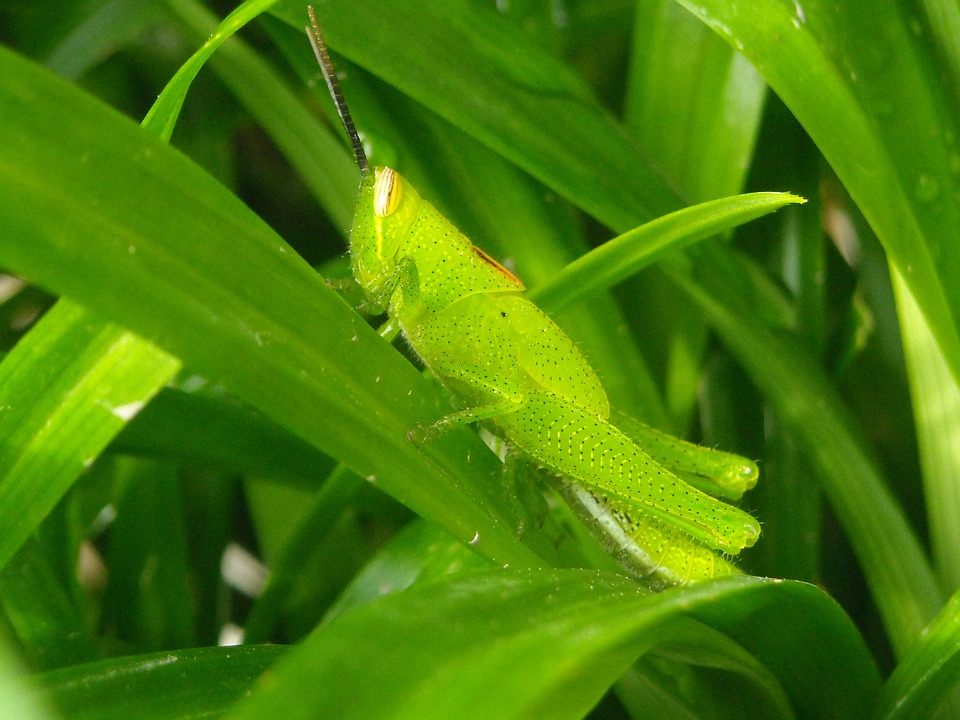 Grasshopper, Green, Leaf, Pandan