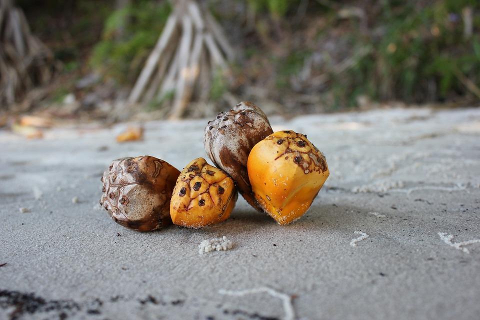 Pandanas Seed, Pandanas Palm, Beach, Palm, Seed