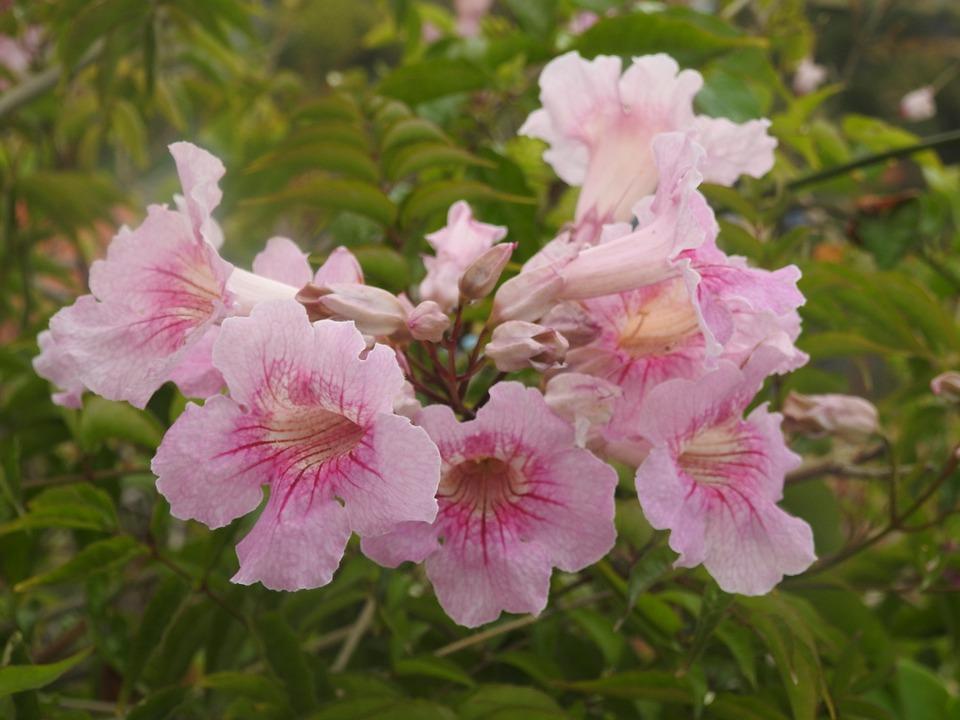 Pandorea, Pandorea Jasmine, Flowers, Blooms, Flowering