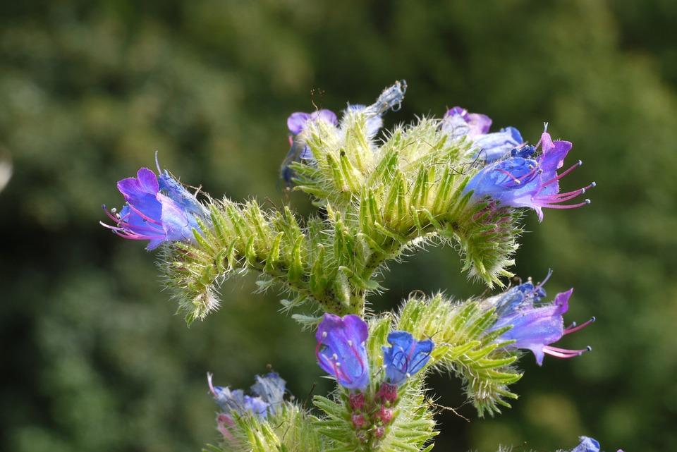 Alpine Plant, Panicle, Boom, Flowers, Blue, Purple