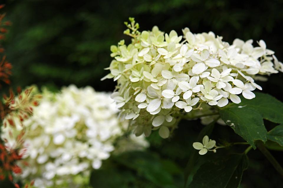 Panicle Hydrangea, Hydrangea, Garden
