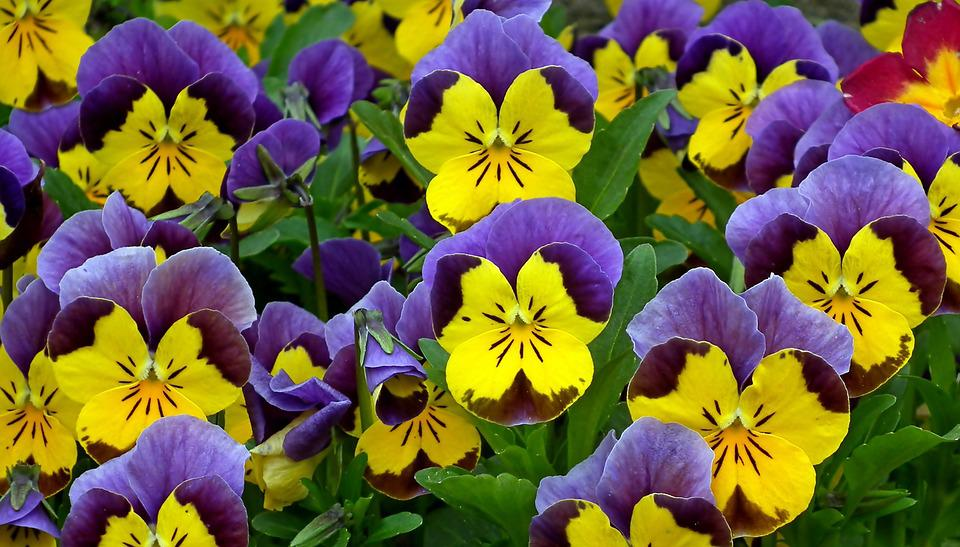Pansies, Colorful, Flowers, Spring, Garden, Nature