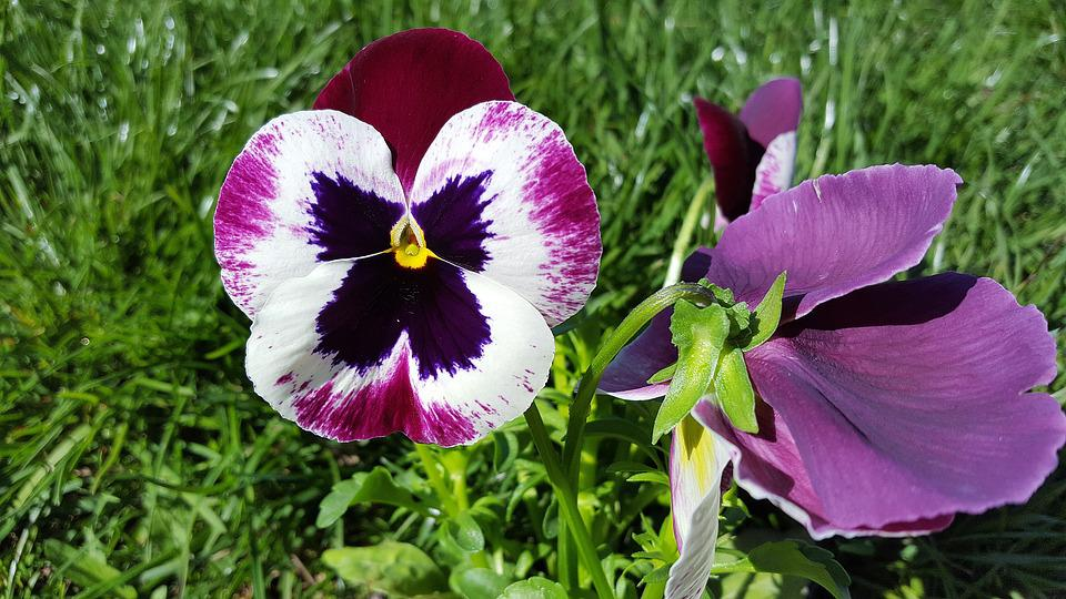 Pansy, Pansy Flower, Viola Tricolor, Pansies