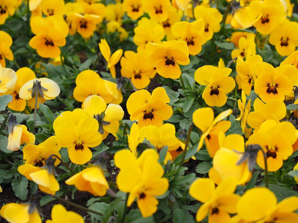 Free photo pansy bloom spring flowers yellow bltenmeer max pixel pansy flowers bloom spring yellow bltenmeer mightylinksfo