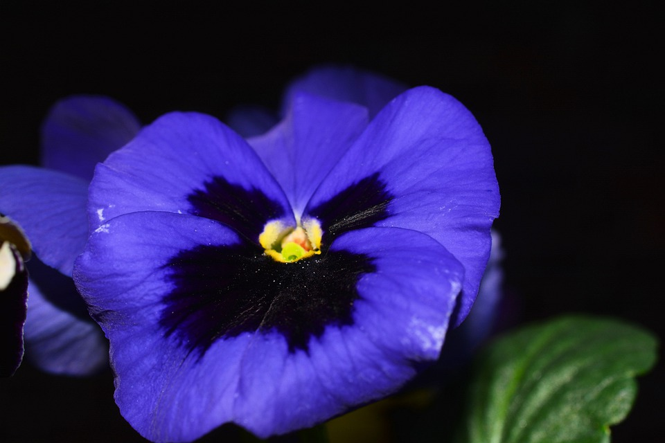 Pansy, Flowers, Blue, Close