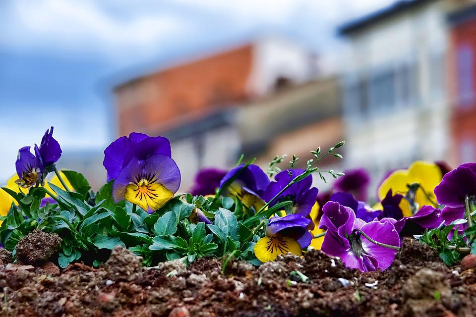 Flower, Nature, Plant, Pansy, Close