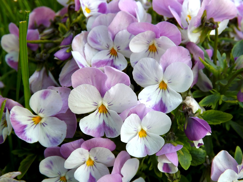 Pansy, Flower, Mov, White, Plant