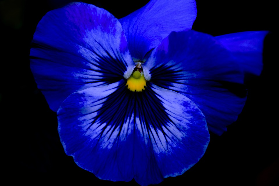 Pansy, Flowers, Plant, Spring, Blue