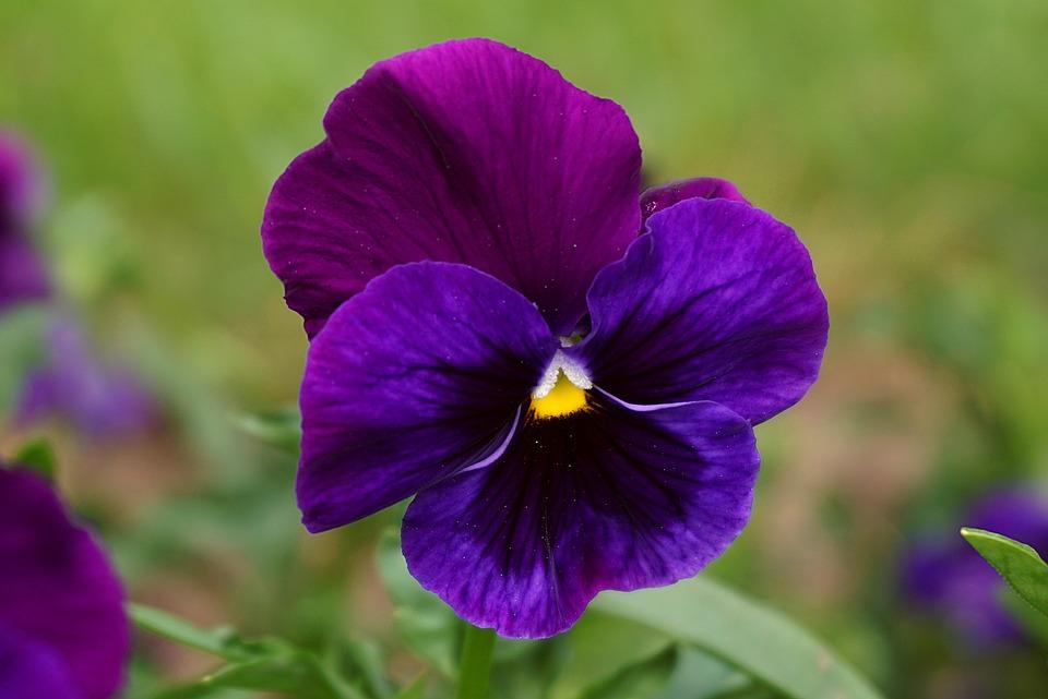 Pansy, Flower, Plant, Purple Flower, Petals, Leaves