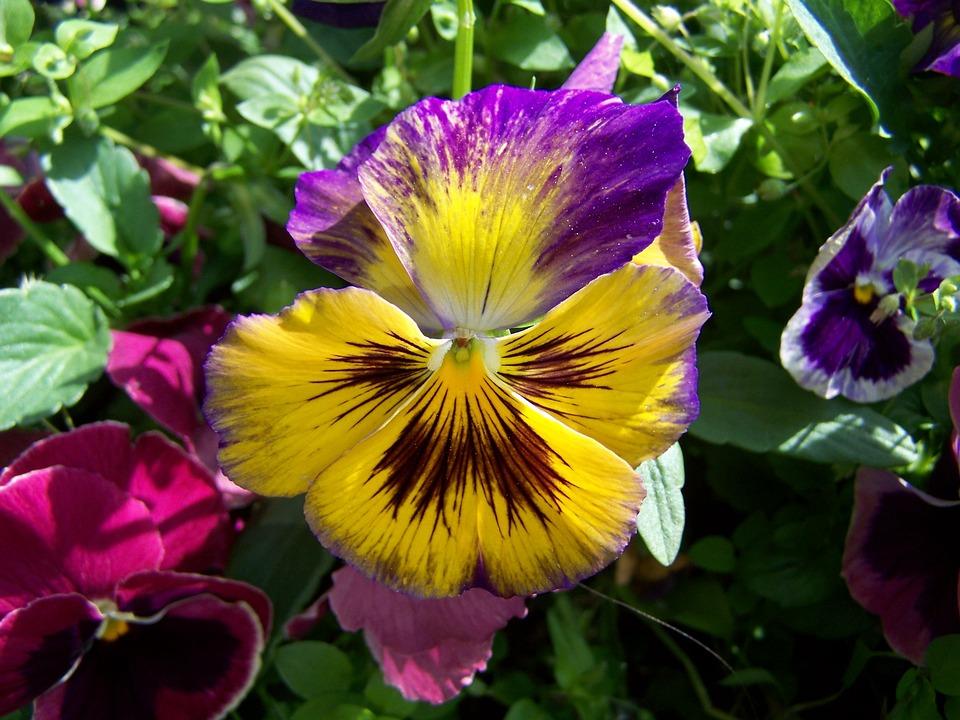 Free photo pansy purple and yellow flowers garden max pixel pansy purple and yellow flowers garden mightylinksfo