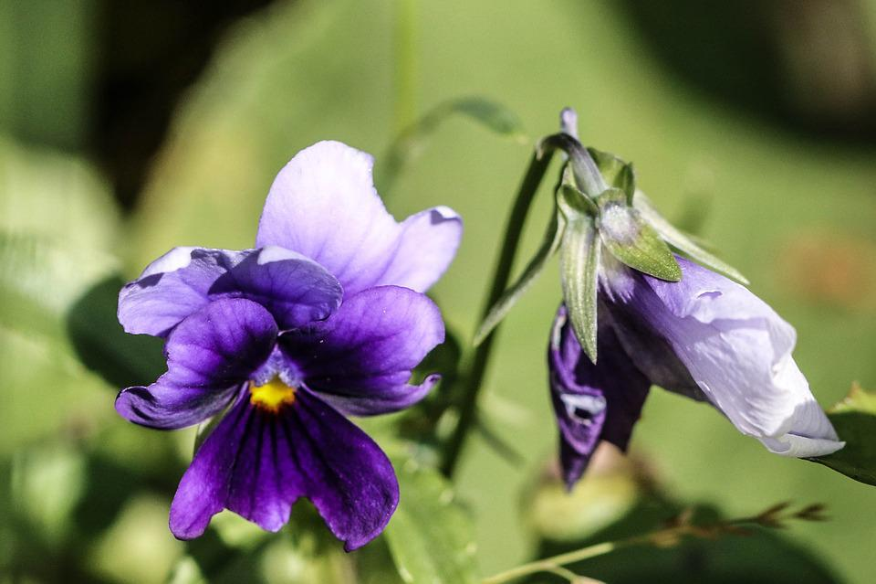 Pansy, Flower, Summer Flower, Summer, Color