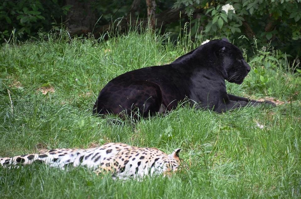 Panter, Leopard, Animals