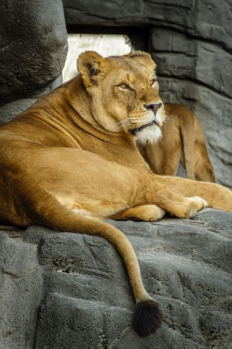 Panthera Leo, Lion, Lioness, Female, Zoo, Hagenbeck
