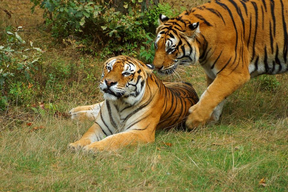 Tiger, Play, Snuggle, Panthera Tigris Altaica